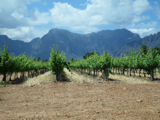 The vineyard at Nederburg Wine Estate, with the mountains in the background.