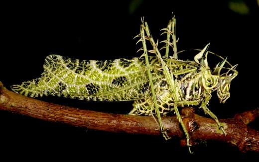 Strange creature of the Insect World-Lichen Katydid