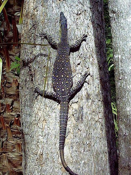 Goanna climbing a tree