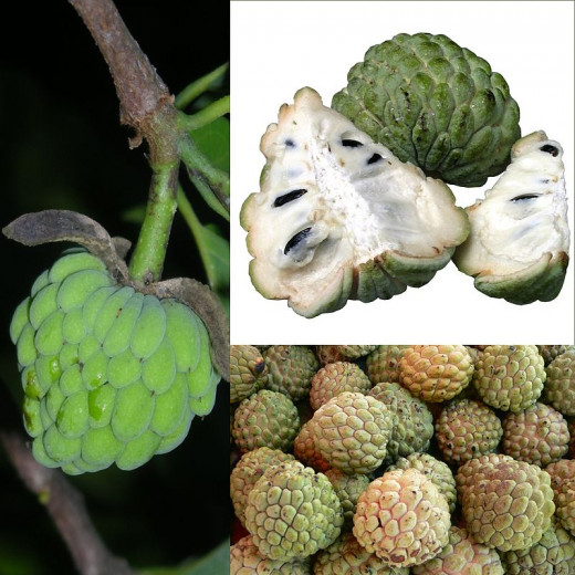 This variety of custard apple is also called Sweetsop or Sugar Apple.
