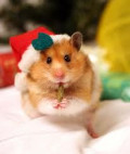 A Hamster is for Life not just for Christmas!