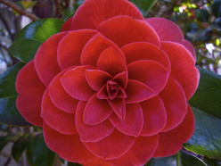 Are there other trees like the Camellia?