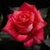 Rosa Malaga profile image