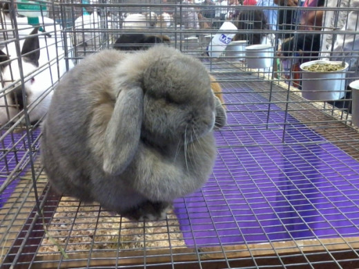 Fluffy Bunny. Just try to be upset after looking at this!