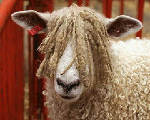 Does anyone know where I can find a 'sheep' hair salon?
