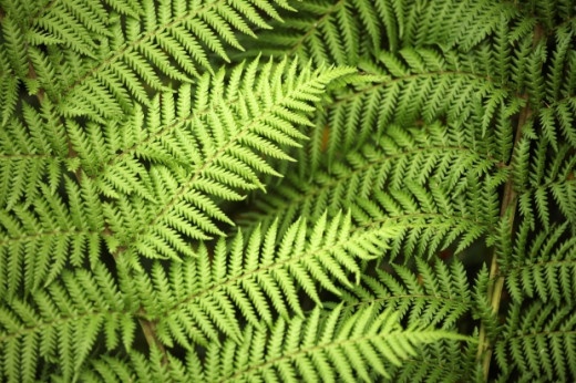 Ferns like this one are easy to grow and the large green leaves are stunning. Ferns can grow very tall and bushy, so take care where you plant them.