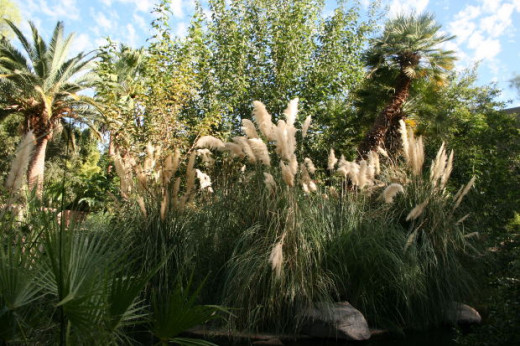 Pampas grass is noted for it's beautiful crowns and large blades. Pampas grass can grow incredibly tall and bushy, and compliments many types of gardens.