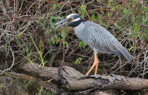 Yellow-crowned Night-Heron of Bastrop, Tx.