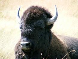 Bull bison (buffalo)