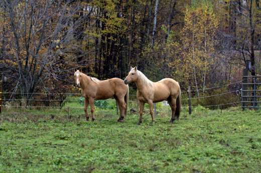 These beauties together enjoying the sun, and their time in the green pastures. The American Quarter Horse is the most popular among all the breeds.