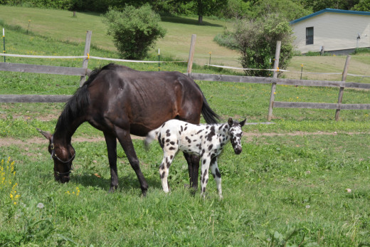 Mother and baby, the Appaloosa or paint horses are among some of the most beautiful, with their unique markings.