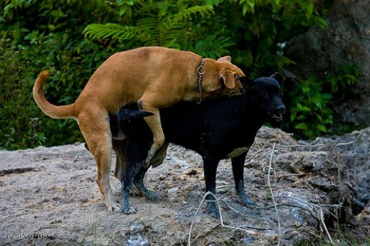 How Do Dogs Mate And Get Stuck