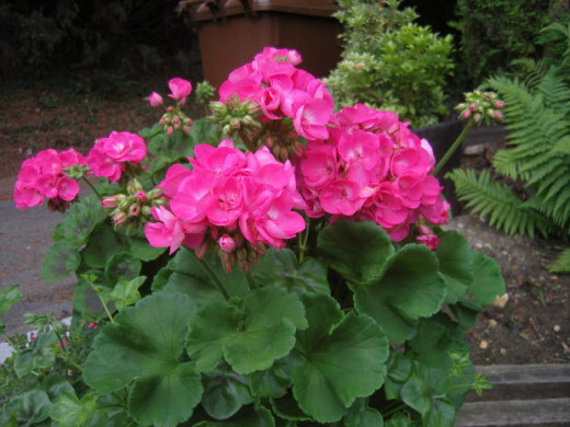 Geraniums are hardy and easy to grow in low-light conditions. The beautiful flowers of the geranium are a wonderful addition to shady areas of your garden.