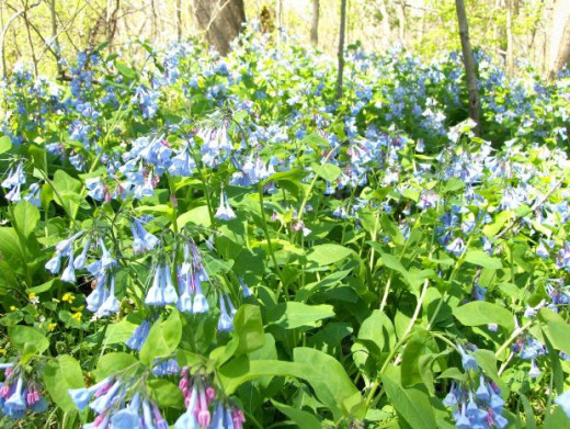 Virginia Bluebells are native to North America and can be found in forests and other partial shade as part of their natural environment.