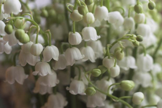 Lily of the valley are different than most other lilies you will find. They grow in small clusters of flowers in a dramatic show of white blossoms. Lily of the valley are smaller than other lilies and require moist soil.