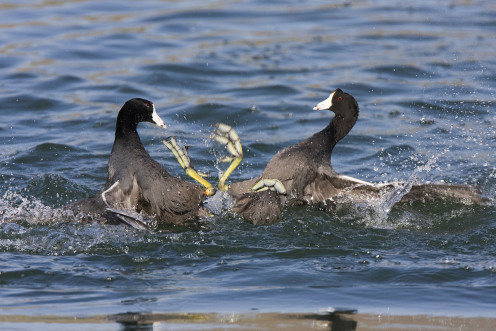 American Coot fight with their large feet.