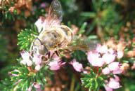 The humble honey-bee, creator of mead.