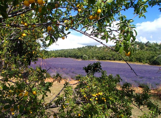 Provencal lavender fields are often bordered by peach, prune, plum orchards.