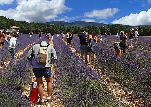 Taking photos and picking lavender in a field at the festival.