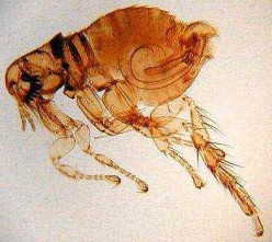 How to Get Rid of Fleas in Your Home in Few Easy Steps