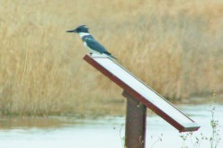 Belted Kingfisher: Photographic Challenge