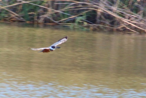 Ringed Kingfisher gliding over the water.