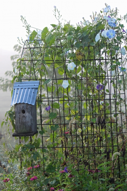 Morning glories climb up this wire trellis. These flowers open and close with the sun, and the large blue blooms are plentiful with this vine. Given adequate moisture and sunlight, morning glories will survive and thrive for many seasons.