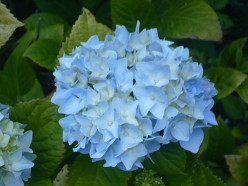How To Grow Beautiful Hydrangeas