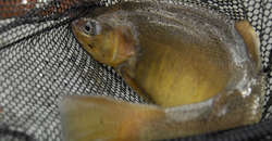 Unusual and threatened species of Arizona trout - the Gila trout