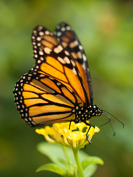Photo Credit - https://en.wikipedia.org/wiki/Monarch_butterfly