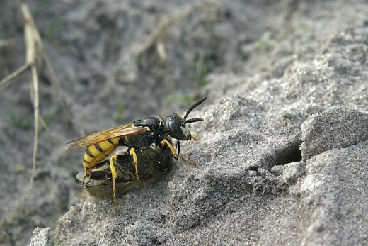 Photo Credit - https://en.wikipedia.org/wiki/Wasp