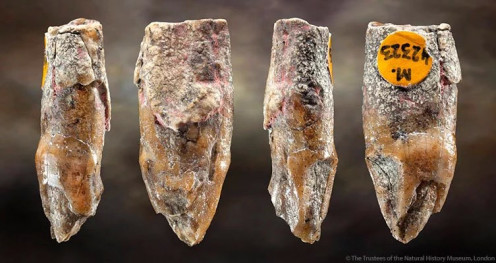 3.1 million years old Australopithecus tooth in london
