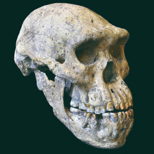 Million years skull of homo erectus