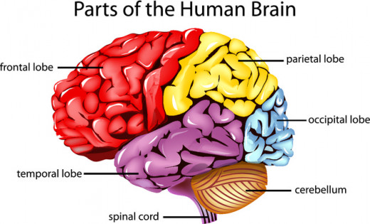 Pathology of the brain hubpages different parts of the human brain ccuart Choice Image