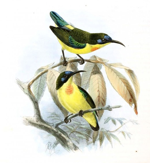 This species is endemic to the Philippines.