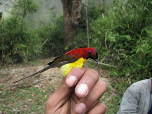 This species  id found in Bangladesh, Bhutan, China, Hong Kong,  India, Laos, Myanmar, Nepal, Thailand, and Vietnam.