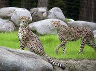Cheetahs in the Oregon Zoo