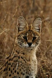 A serval from the Sabi Sand area of South Africa: Note the large ears adapted for hearing small prey.