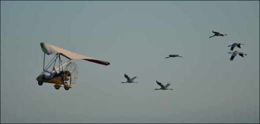 Whooping cranes following an ultralight aircraft on their migration