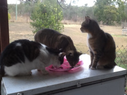 Hungry cats: Basil, Phoebe, and Fanny