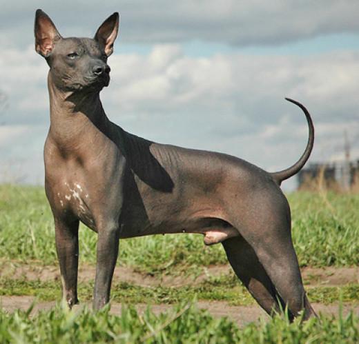 Peruvian Hairless dogs
