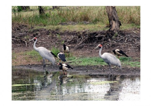 Brolgas with Magpie Geese