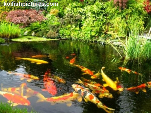 Koi-Fish always stay harmoniously as a family. They are good luck symbols.