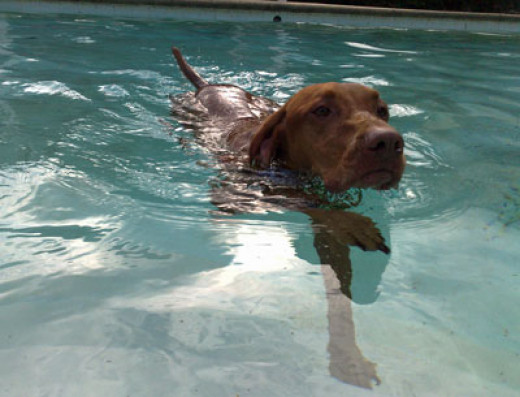 Cute Dog Swimming In Clear Water