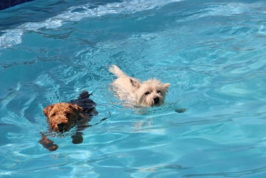 Swimming Pools And Dogs The Smartest Best Practices To Embrace