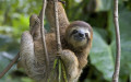 The long and short of caring for your pet sloth