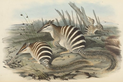"Illustration of Numbats in 1845 publication ""Mammals of Australia"""