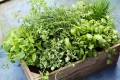 How to use Common Herbs to Heal and Promote Well-being and Good Health.