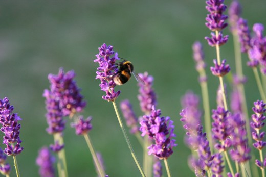 Lavender flowers are well loved by bees and have excellent relaxant properties.