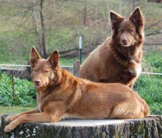 NAID (Native American Indian Dog)